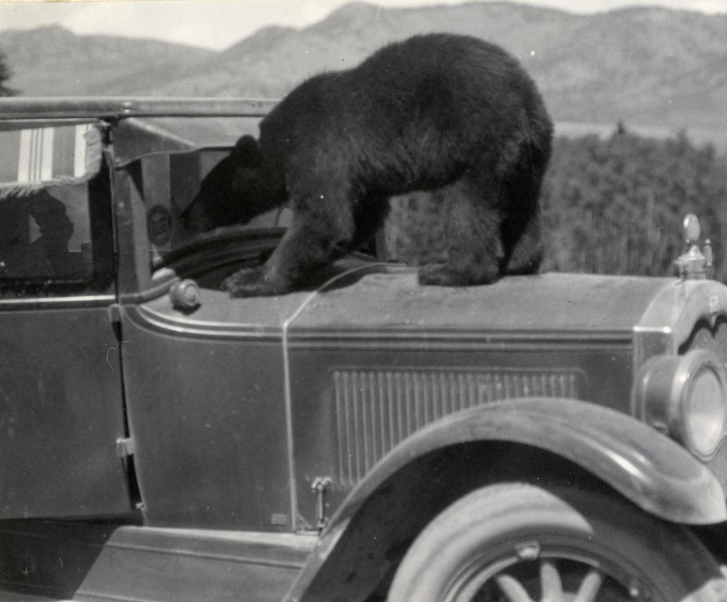 Black Bear Staring Into 1920's Automobil by Montana State University (MSU) Library, on Flickr