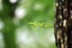 (nodie26) Tags: life plant macro green nature water ecology beautiful leaf spring natural feel sigma jewelry drop foliage drip  hualien        105mm    lohas    loha