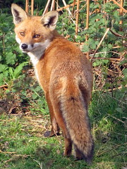 Who'll Never Outfox the Fox?!? (johnmuk) Tags: bridge england nature canon spring natura cannock fox chase april staffordshire 2009 johnmuk compatta sx10
