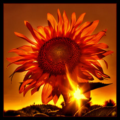 Mother of Sun (Kugarth) Tags: light red favorite orange brown sun plant black flower color colour macro green nature beautiful beauty up yellow closeup digital photoshop canon garden photography eos spider photo leaf petals high nice interesting flora focus pretty dof close view dynamic image blossom bokeh background web vivid seeds depthoffield romania frame sunflower bloom botanic 20mm fav 1785mm range hdr highdynamicrange comment faved 40d canoneos40d dragondaggerphoto dragondaggeraward magicunicornverybest magicunicornmasterpiece mygearandme mygearandmepremium mygearandmebronze mygearandmesilver