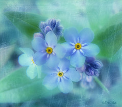 Blue sensitivity (Bessula) Tags: blue flower texture garden natur creation forgetmenot oa otw absoluteblue mywinners abigfave platinumphoto memoriesbook bessula platinumheartaward awesomeblossoms vosplusbellesphotos alwaysexcellent thedantecircle flowerquest weirenasfaves expressyourselfaward redmatrix platinumpeaceaward adrinnesmagicalmoments