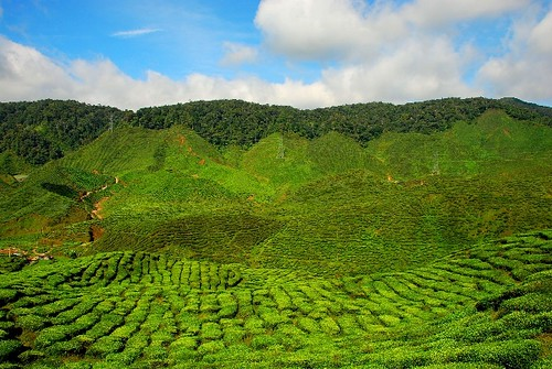 Cameron Highlands Bharat Tea Farm