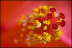 from a colourful nowhere (almibag) Tags: macro hibiscus ef100mmf28macrousm canoneos400d alanbagge almibag
