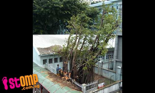 Please DON'T cut down this old tree at Eu Tong Sen St