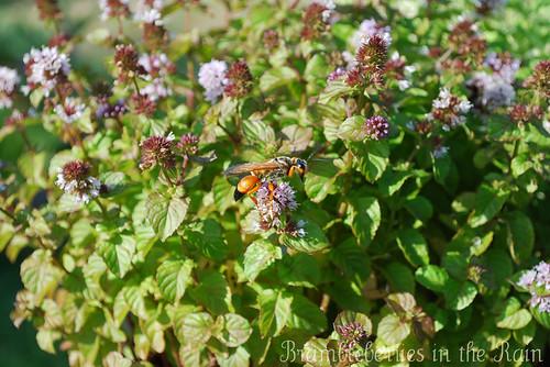 Large Orange Wasp