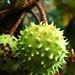 3 - 5 septembre 2009 Maisons-Alfort Avenue du Général de Gaulle Bordures fleuries Marronnier = Chestnut tree Bogues vertes = Green chestnut-husks