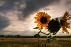 Setting Sun Flowers (Anda74) Tags: sunset june colorado sunflowers dogpark cherrycreek canon2470f28 platinumheartaward