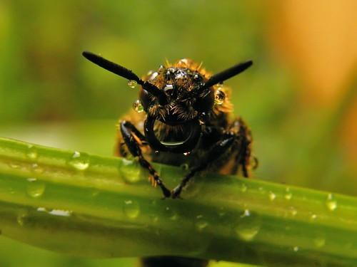 フリー画像| 節足動物| 昆虫| 蜂/ハチ| 雫/水滴|       フリー素材|