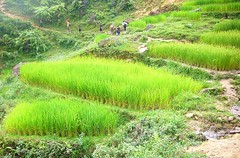 Rice fields on the walk to Lao Chai (paesi) Tags: trip travel holiday nature field landscape asia rice terrace vietnam fields viaggio sapa hmong laochai indochine terraced minorities tavan