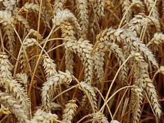 Wheat Close-up Wallpaper (basswulf) Tags: uk wallpaper england macro yellow gold lenstagged corn wheat harvest gimp broughton oxfordshire 43 digitaldarkroom d40 favpics camerasetting:aperture=f8 vivitar90mmf25macro permissions:licence=ccatncsa 2400x1800 200908 image:ratio=43 favpic2009 20090824 releaseaiweiwei