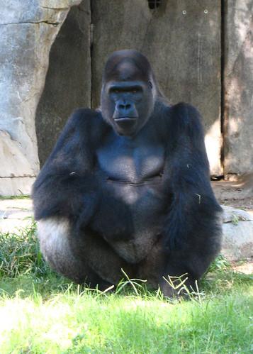 fwz gorilla