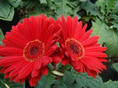 Rojo (RIGOBERTO MONTALVO) Tags: flora gerbera elsalvador imagesofelsalvador elpulgarcitodeamerica excellentsflowers
