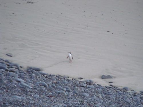 Pingüino de ojo amarillo (Oamaru)