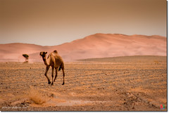 Desert camel (arturii!) Tags: africa trip travel summer orange brown sun mountains hot tree sahara beauty animal wow amazing nice interesting sand tour view desert superb awesome september arena route camel oasis morocco arab stunning vista viatge arabian marruecos arbre esplanada impressive muntanya marroc gettyimages sorra merzouga setembre bereber estepa religi llanura ergchebbi camell tronja musulmans mulin canoneos400d arturii arturdebat arturdebattk
