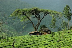 "Tree (Rafeek Manchayil ""Near Perfect"") Tags: india tree green rock country kerala hut gods own munnar malayali marayoor rafeek manchayil chinnakanal dkmcnature"