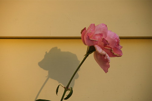 End of Season Rose