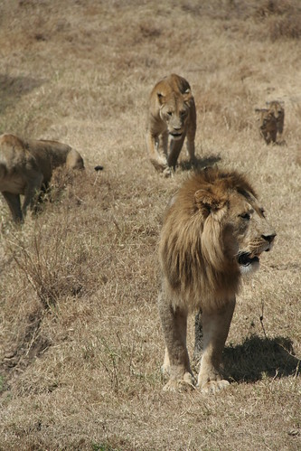 Pack of Lions on the move - Ngorongoro Crater, Tanzania