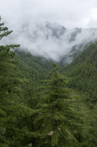 Paro Valley - full of pines & fir trees