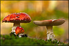Fly Agaric (Amanita muscaria) (BraCom (Bram)) Tags: autumn red white detail fall nature forest gnome woods herfst natuur fungi fungus amanitamuscaria paddenstoel bos rood wit mothernature fliegenpilz flyagaric kabouters vliegenzwam whitedots zwam wittestippen specialpicture ahqmacro adriënnesmagicalmoments bracom bramvanbroekhoven