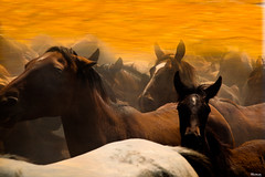 Galopando (pericoterrades) Tags: caballos huelva elrocío almonte elrocio greatphotographers potros pericoterrades flickrsbest mywinners anawesomeshot impressedbeauty visiongroup thegalleryoffinephotography sacadeyeguas sacadecaballos