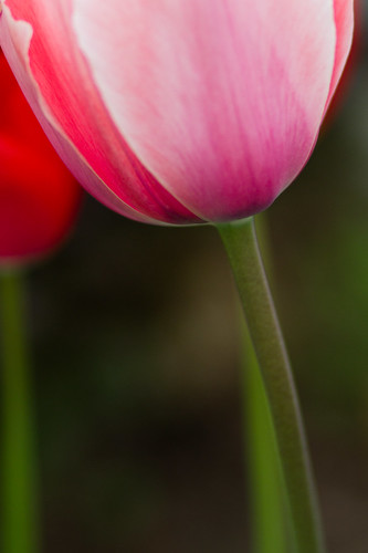 tulips-3870.jpg