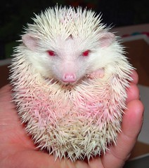 Hedgie (JohnCramerPhotography) Tags: pet animal fauna rodent african albino hedgehog facebook pigmy twitter tumblr pinterest instagram copyrightjohngcramer