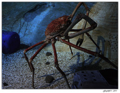 Crabe Géant (Greyshift11) Tags: life sea mer france lumix dragon nemo clown panasonic bleu g1 mm 45mm dory dmc geant poissons 1445 200mm crabe 14mm murene crabzilla hippocampe chirurgien hippocampes dmcg1