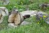 Marmotte Pralognan la Vanoise (franchab) Tags: wwwfranchabphotographefr