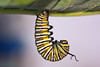 5th_Instar_Monarch_J_3 (dandjtaylor2003) Tags: nature bug insect caterpillar more monarch naturel jhook beautifulmonsters superstarthebest instara