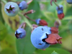 Blueberries 2011