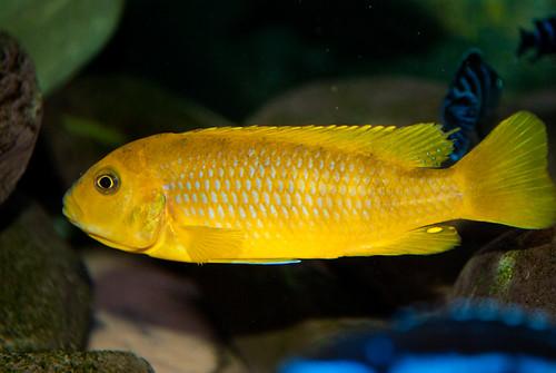 Pseudotropheus sp. 'ndumbi gold' Ndumbi Rocks