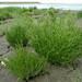 Salicornia stricta (Long-spiked Glasswort / Langarige zeekraal) 1636 & Salicornia europaea ssp. europaea (Common Glasswort / Kortarige zeekraal) 1635