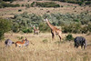 Impala, zebra, and giraffes hang out in the savana