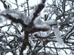 Ice Macro (OhKyleL) Tags: macro tree ice backyard icesickles