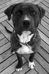 Ozio (PheCrew) Tags: dog chien blanco cane noir negro down pitbull perro hund cachorro sentado sicily blanc nero chiot sicilia modica weiser phe sassis sitzt seduto schwarzer soken tierkind