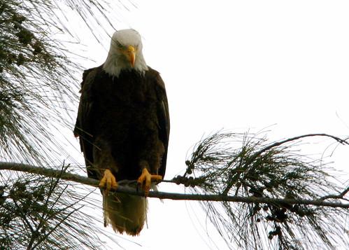 Eagle Roosting 20090207