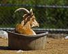 Goat Tub (Property#1) Tags: morning fab urban toronto canada animals digital photo bucket afternoon sheep image bigma goat tub torontozoo blueribbonwinner supershot sigma50500mm property1 pentaxk10d