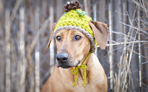 Roux: dog in hat