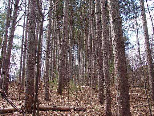 Pine Plantation 4