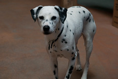 Bodie Dog