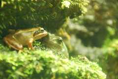 "Secret meeting (""KIUKO"") Tags: green aquarium meeting frog"