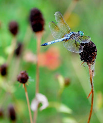 Male Pondhawk (jwinfred) Tags: flowers macro nature mississippi nikon insects delta cypress 90mm preserve greenville d300