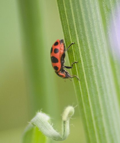 twelve spotted lady beetle