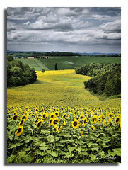Dordogne sunflower fields (pete stone) Tags: france dordogne valley sunflowers soe hdr perigord celles skyascanvas 3xexposuresbracketedinphotoshop