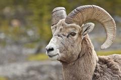 Jasper Nationalpark (Thomas Frejek) Tags: canada ram 2009 kanada rockymountainsheep oviscanadensis dickhornschaf malebighornsheep