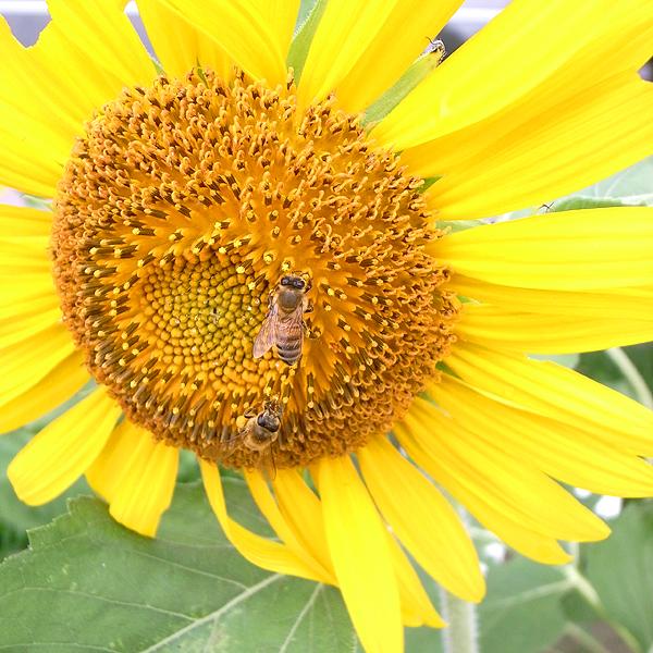 ひまわりにあつまるミツバチ