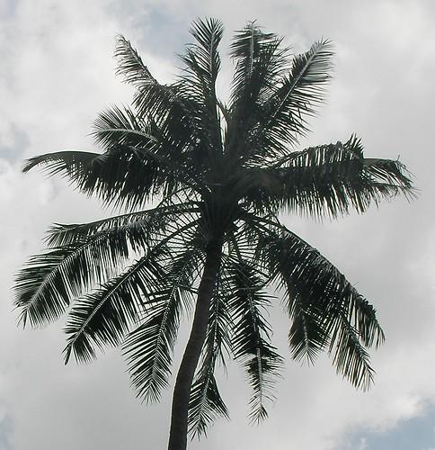 屏教大椰子樹-3.JPG