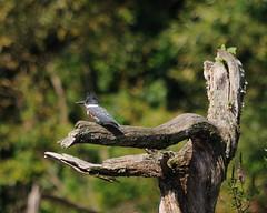 Belted Kingfisher (JG5150-Joe Girgenti) Tags: nj beltedkingfisher columbialake warrencounty