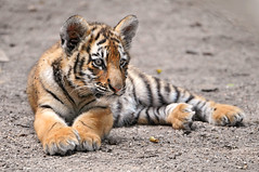 Lounging Amur tiger cub (Tambako the Jaguar) Tags: wild baby france cat zoo cub big nikon feline stripes tiger adorable kitty siberian lying tigre striped amur felid d300 pantheratigris amnville vosplusbellesphotos