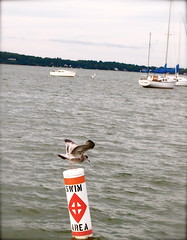 Seagull in Madison (Kara Allyson) Tags: lake water wisconsin boats sailing seagull madison sail unionterrace